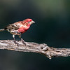 Maker:  Rickey Scroggins<br /> Title:  Purple Finch<br /> Category:  Wildlife<br /> Score:  13