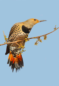Maker:  Dale Lindenberg Title:  Flicker Category:  Wildlife Score:  12