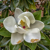 Maker:  Ted Miot<br /> Title:  Magnolia Bloom<br /> Category:  Pictorial<br /> Score:  12