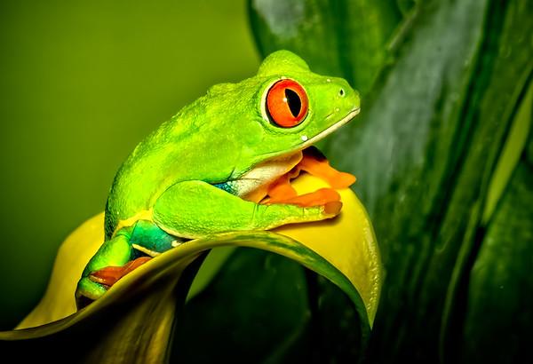 Maker:  Dale Lindenberg<br /> Title:  Red Eye Tree Frog<br /> Category:  Macro/Close Up<br /> Score:  12
