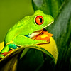 Maker:  Dale Lindenberg<br /> Title:  Red Eye Tree Frog<br /> Category:  Macro/Close Up<br /> Score:  12