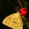 Maker:  Dale Lindenberg<br /> Title:  Butterfly<br /> Category:  Macro/Close Up<br /> Score:  12