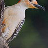 Maker:  Dale Robertson<br /> Title:  Redbelly<br /> Category:  Wildlife<br /> Score:  14
