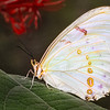 Maker:  Dale Lindenberg<br /> Title:  Butterfly<br /> Category:  Macro/Close Up<br /> Score:  14