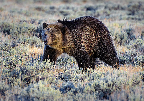 Maker:  Mike Smith<br /> Title:  Frosty Grizzly<br /> Category:  Wildlife<br /> Score:  13