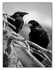 Maker:  Wayne Tabor Title:  Ravens on Dead Tree Category:  Black & White Score:  11