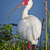 Maker:  Wayne Tabor<br /> Title:  White Ibis<br /> Category:  Wildlife<br /> Score:  14
