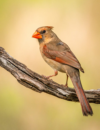 Maker:  Rickey Scroggins<br /> Title:  Female Cardinal<br /> Category:  Wildlife<br /> Score:  15
