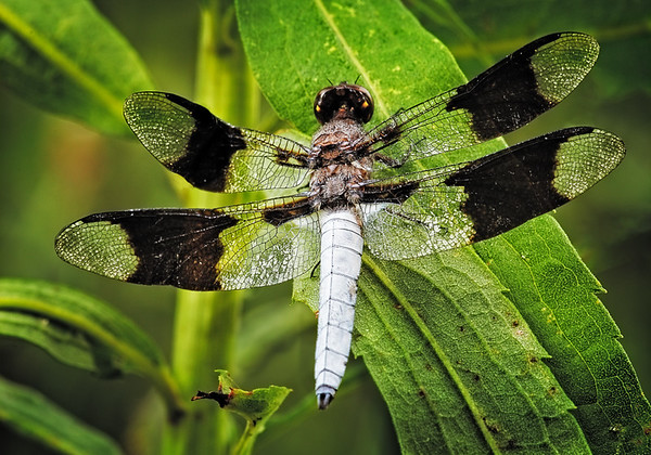 Maker:  Wayne Tabor<br /> Title:  Black and White Dragonfly<br /> Category:  Macro/Close Up<br /> Score:  12