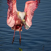 Maker:  Dale Lindenberg<br /> Title:  Spoonbill   Landing<br /> Category:  Wildlife<br /> Score:  12