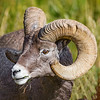 Maker:  Mike Smith<br /> Title:  Yellowstone Ram<br /> Category:  Wildlife<br /> Score:  13