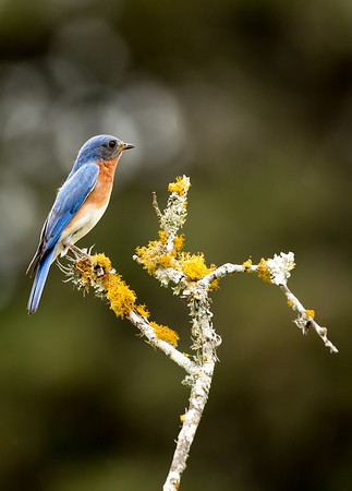 Maker:  Rickey Scroggins <br /> Title:  The Bluebird of Happiness<br /> Category:  Wildlife<br /> Score:  13