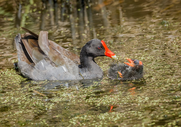 Maker:  Wayne Tabor<br /> Title:  Moorhen Feeding Chick<br /> Category:  Wildlife<br /> Score:  13