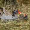 Maker:  Wayne Tabor<br /> Title:  Moorhen Feeding Chick<br /> Category:  Wildlife<br /> Score:  13