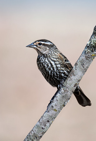 Maker:  :  Roger Hinton<br /> Title:  Female Red winged Black Bird<br /> Category:  Wildlife<br /> Score:  12