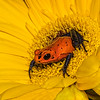 Maker:  Dale Lindenberg<br /> Title:  Frog on Yellow Flower<br /> Category:  Macro/Close Up<br /> Score:  14