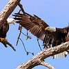 Maker:  Ronald Austin<br /> Title:  Adult Eagles - Hi Honey I'm Home<br /> Category:  Wildlife<br /> Score:  12