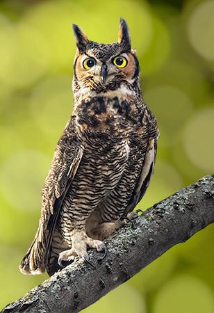 Maker:  Dale Lindenberg<br /> Title:  Owl<br /> Category:  Wildlife<br /> Score:  14