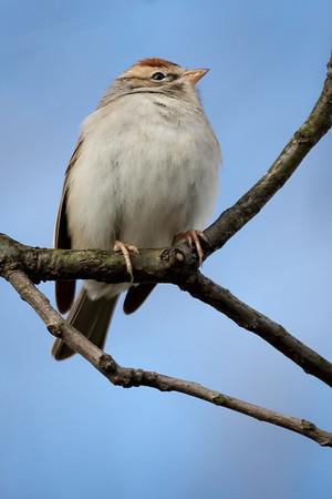 Maker:  Dirk Sanderson<br /> Title:  Bird on Limb 2<br /> Category:  Wildlife<br /> Score: 11