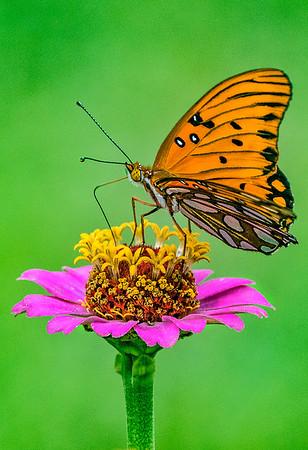 Maker:  Dale Lindenberg<br /> Title:  Butterfly<br /> Category:  Macro/Close Up<br /> Score:  13