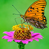 Maker:  Dale Lindenberg<br /> Title:  Butterfly<br /> Category:  Macro/Close Up<br /> Score:  13