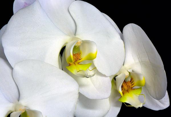 Maker:  Ronald Austin<br /> Title:  White Orchid<br /> Category:  Macro/Close Up<br /> Score:  11