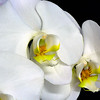 Maker:  Ronald Austin<br /> Title:  White Orchid<br /> Category:  Macro/Close Up<br /> Score:  11