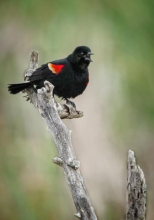 Maker: Wayne Tabor<br /> Title:  Male Redwing on Snag<br /> Category:  Wildlife<br /> Score:  13
