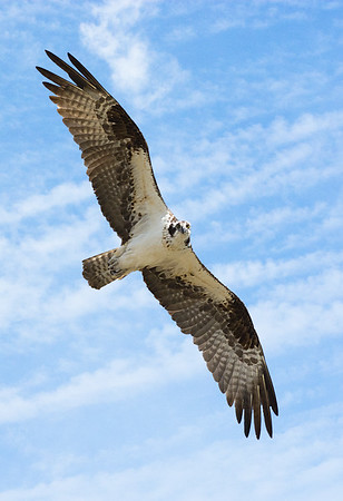Maker:  Ronald Austin<br /> Title:  Osprey<br /> Category:  Wildlife<br /> Score:  13