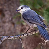 Maker:  Wayne Tabor<br /> Title:  Canada Gray Jay<br /> Category:  Wildlife<br /> Score:  11
