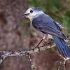 Maker:  Wayne Tabor<br /> Title:  Canada Gray Jay<br /> Category:  Wildlife<br /> Score:  11