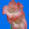 Maker:  Ronald Austin<br /> Title:  Pink Gladiolus<br /> Category:  Macro/Close Up<br /> Score:  14