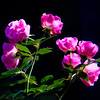 Maker:  Dwayne Anders<br /> Title:  Pink Roses<br /> Category:  Altered Reality<br /> Score:  11