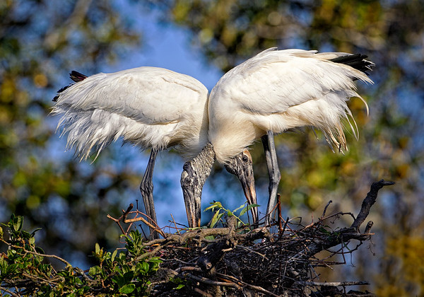 Maker:  Wayne Tabor<br /> Title:  Wood Storks Nest Building<br /> Category:  Wildlife<br /> Score:  12