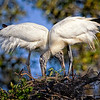 Maker:  Wayne Tabor<br /> Title:  Wood Storks Nest Building<br /> Category:  Wildlife<br /> Score:  12