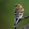 Maker:  Roger Hinton<br /> Title:  Goldfinch<br /> Category:  Wildlife<br /> Score:  12