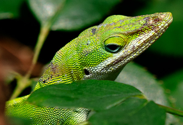 Maker:  Ronald Austin<br /> Title:  Anoles<br /> Category:  Wildlife<br /> Score:  11