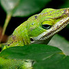 Maker:  Ronald Austin<br /> Title:  Anoles<br /> Category:  Wildlife<br /> Score:  11