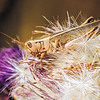 Maker:  Wayne Tabor<br /> Title:  Grasshopper on Thistle<br /> Category:  Macro/Close Up<br /> Score:  13