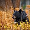Maker:  Wayne Tabor<br /> Title:  Black Bear in Autumn<br /> Category:  Wildlife<br /> Score:  12