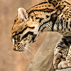 Maker:  Dale Lindenberg<br /> Title:  Ocelot<br /> Category:  Pictorial<br /> Score:  14