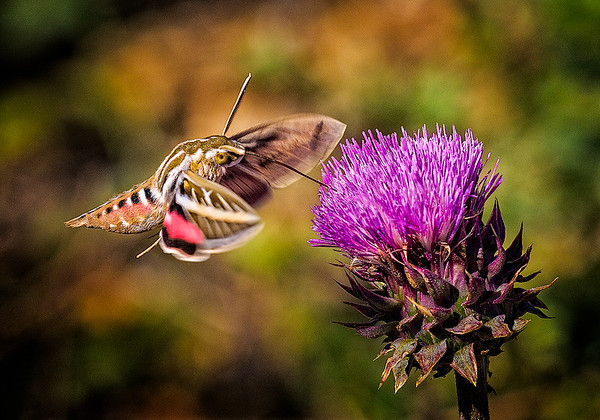 Maker:  Wayne Tabor<br /> Title:  Hummingbird Moth<br /> Category:  Macro/Close Up<br /> Score:  13