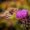 Maker:  Wayne Tabor<br /> Title:  Hummingbird Moth<br /> Category:  Macro/Close Up<br /> Score:  13