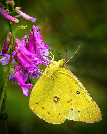 Maker:  Wayne Tabor<br /> Title:  Clouded Sulphur Butterfly<br /> Category:  Macro/Close Up<br /> Score:  13