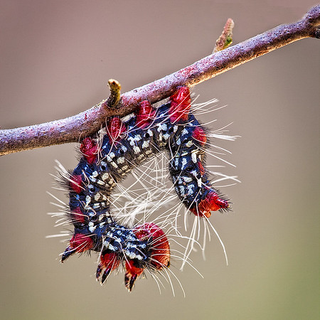 Maker:  Wayne Tabor<br /> Title:  Hanging Caterpillar<br /> Category:  Macro/Close Up<br /> Score:  14