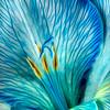 Maker:  Roger Hinton<br /> Title:  Blue Veins<br /> Category:  Macro/Close Up<br /> Score:  12