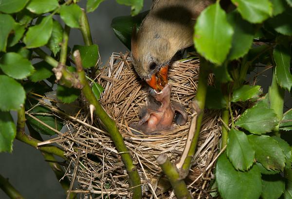 Maker:  Ronald Austin<br /> Title:  Cardinal Nest - Mom's Feeding Babies<br /> Category:  Wildlife<br /> Score:  12