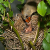 Maker:  Ronald Austin<br /> Title:  Cardinal Nest - Mom's Feeding Babies<br /> Category:  Wildlife<br /> Score:  12