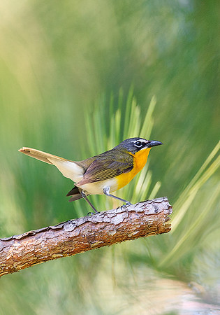 Maker:  Mike Smith<br /> Title:  Yellow-breasted Chat<br /> Category:  Wildlife<br /> Score:  15