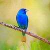 Maker:  Mike Smith<br /> Title:  Indigo Bunting<br /> Category:  Wildlife<br /> Score:  14